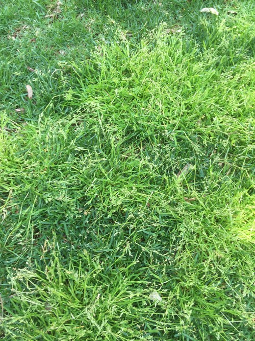 Annual bluegrass - light colored weed grass in lawns