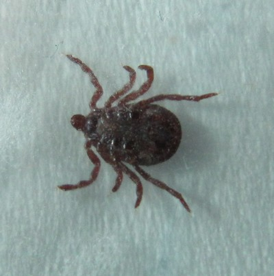 Tick in Lawns
